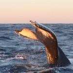 Walvis bij Andenes, Noorwegen