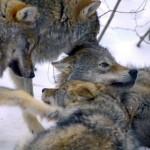 Jonge wolven, Polar Park, Noorwegen