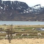 Rendieren onderweg, Noorwegen